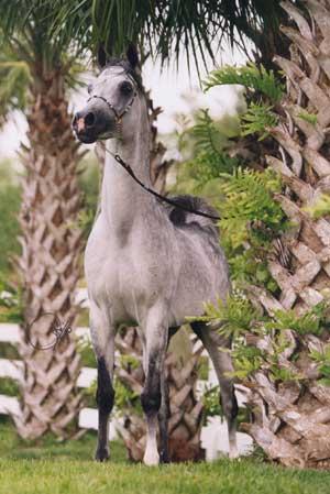 Grey horse Actual size